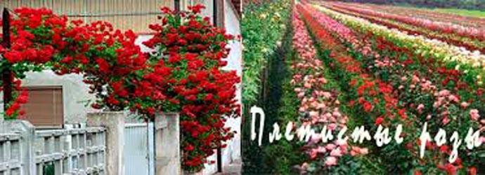 Саженцы розы плетистые купить лучший подарок любимой девушке на 14 февраля