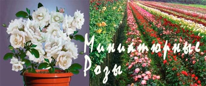 Миниатюрные розы купить в киеве подарок на 50 лет женщине начальнику