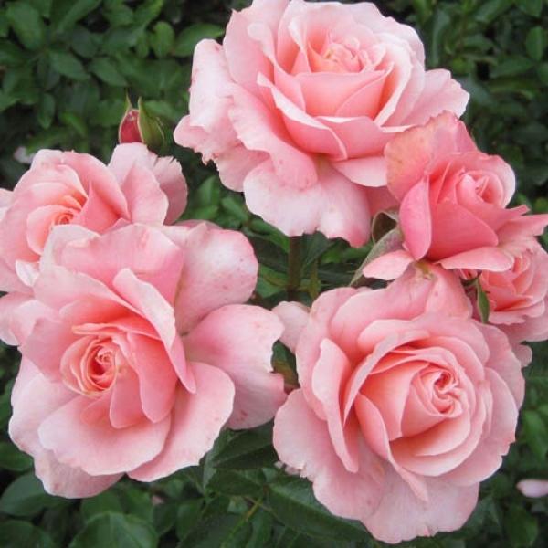 Купить саженец розы боттичелли купить розы остина в минске