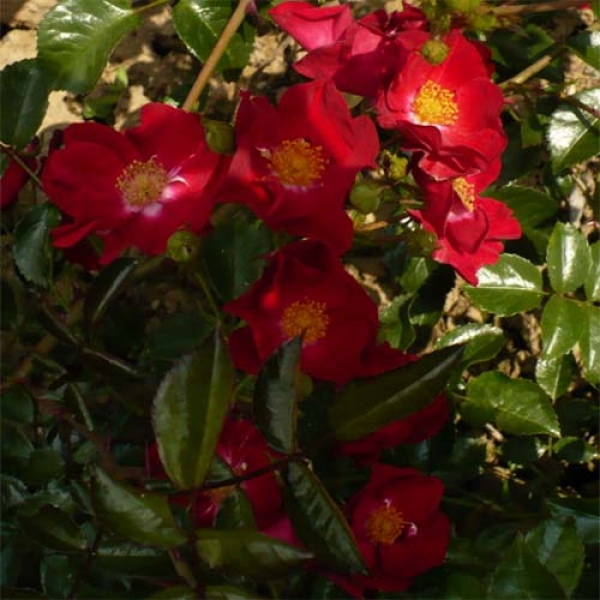 роза со знаком адр