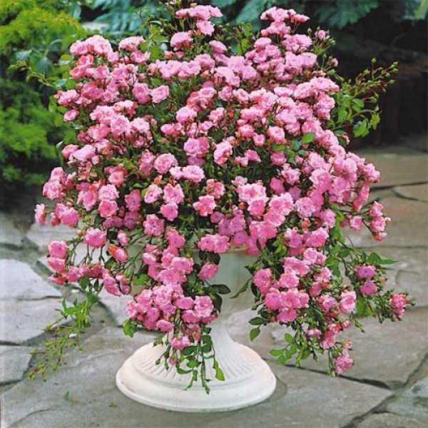Купить сажанци розы зе фейри на украине как перевезти живые цветы зимой